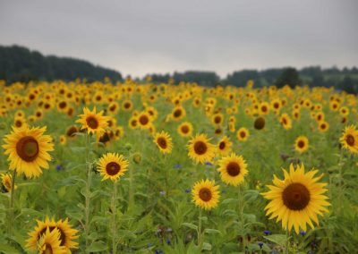 Sonnenblumenfelder-Oberschwaben